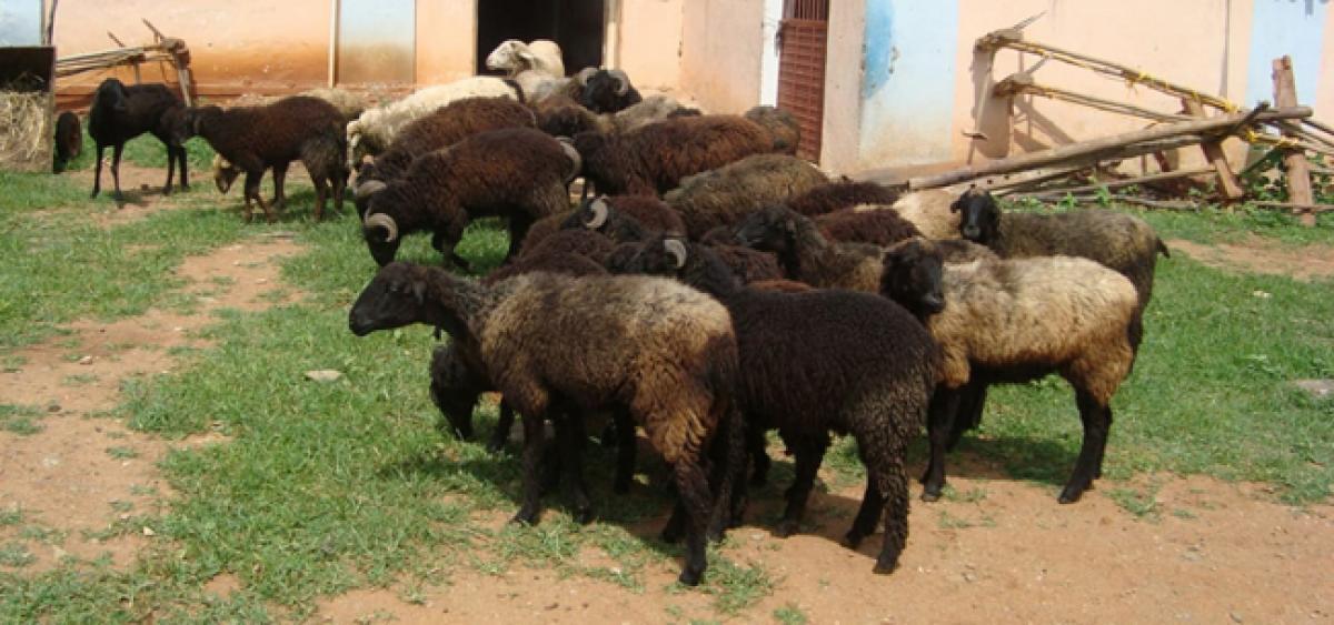 Deccani sheep meat is off the menu