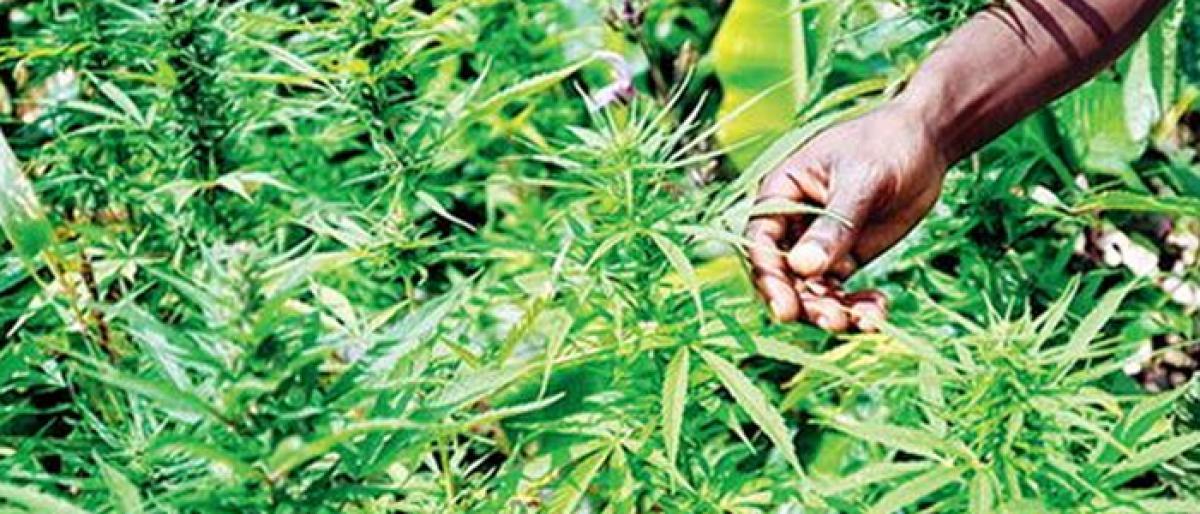 One arrested for growing Ganja in Nagarkurnool