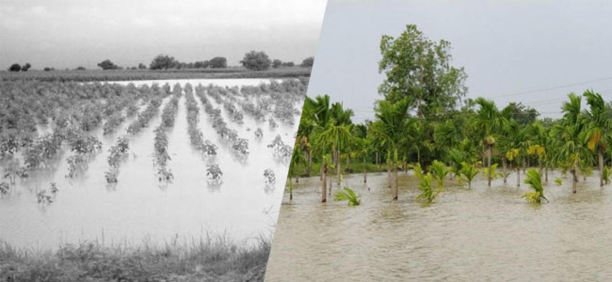 Heavy Rains Lash West Godavari & Krishna, Crops Damaged