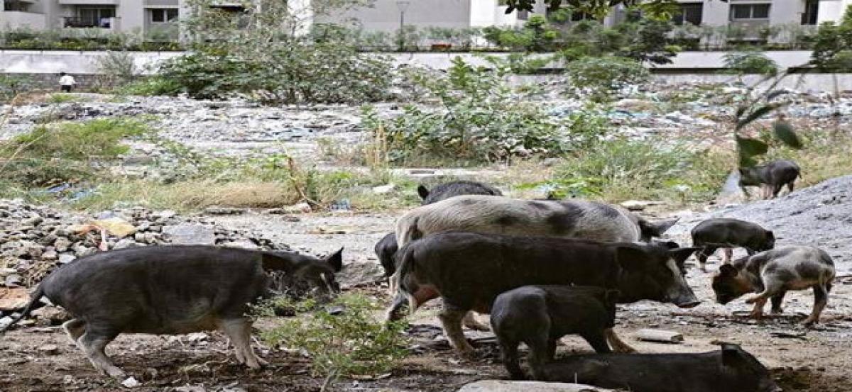Pig menace in Fisherpura