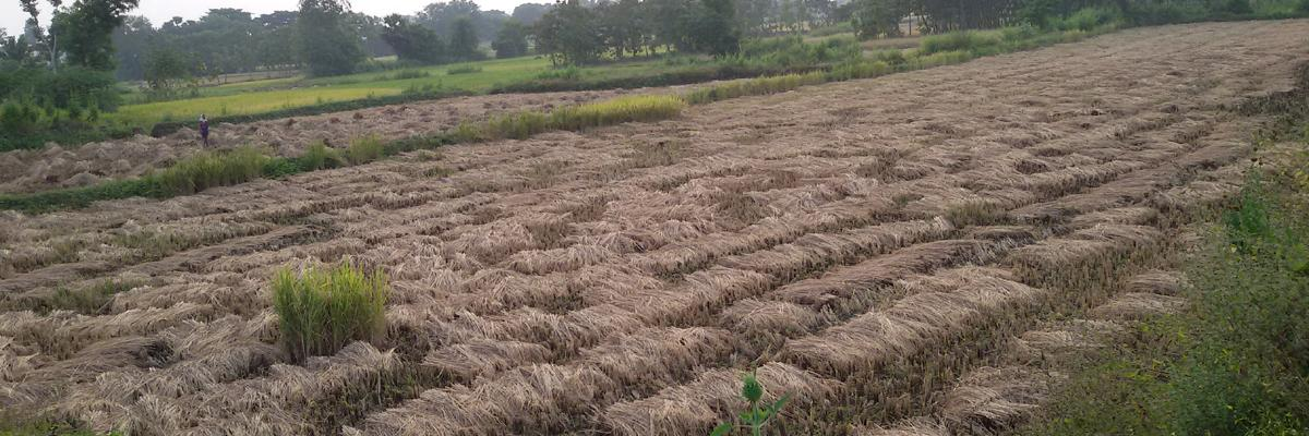Officials expect 7 lakh tonnes paddy yield in Srikakulam district