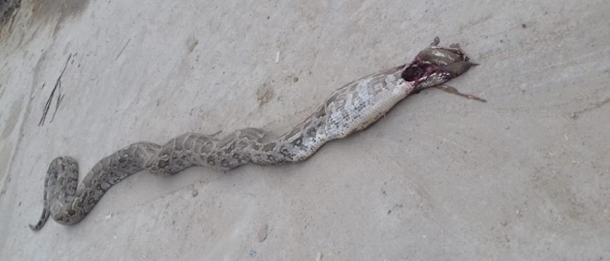 Python creates commotion in Vinukonda