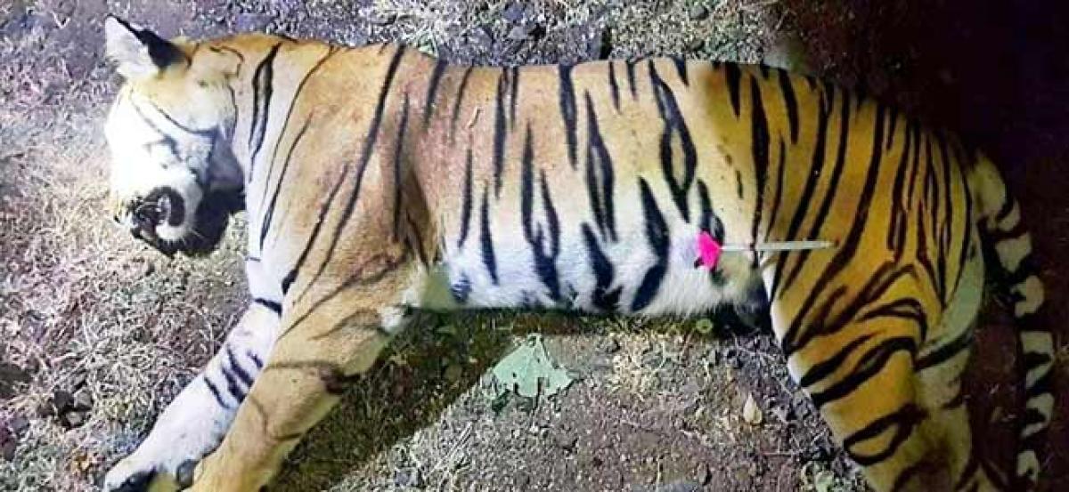 Tigress Avni was killed to