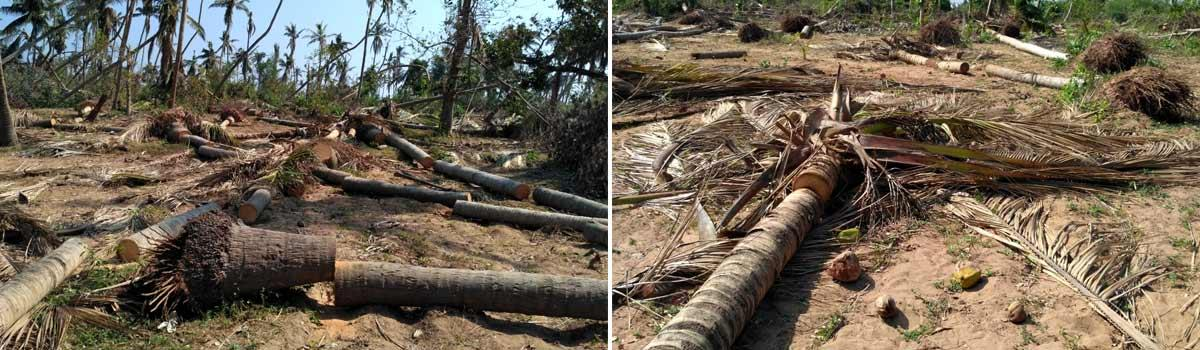 Removal of uprooted trees became a big task