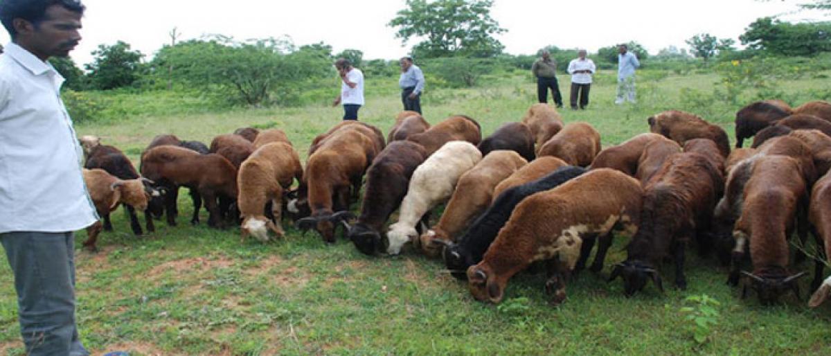 Shepherds urged to make use of sheep scheme
