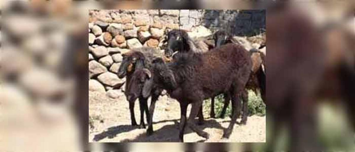 8 held for buying sheep from scheme beneficiaries