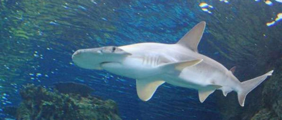 First known vegetarian shark discovered