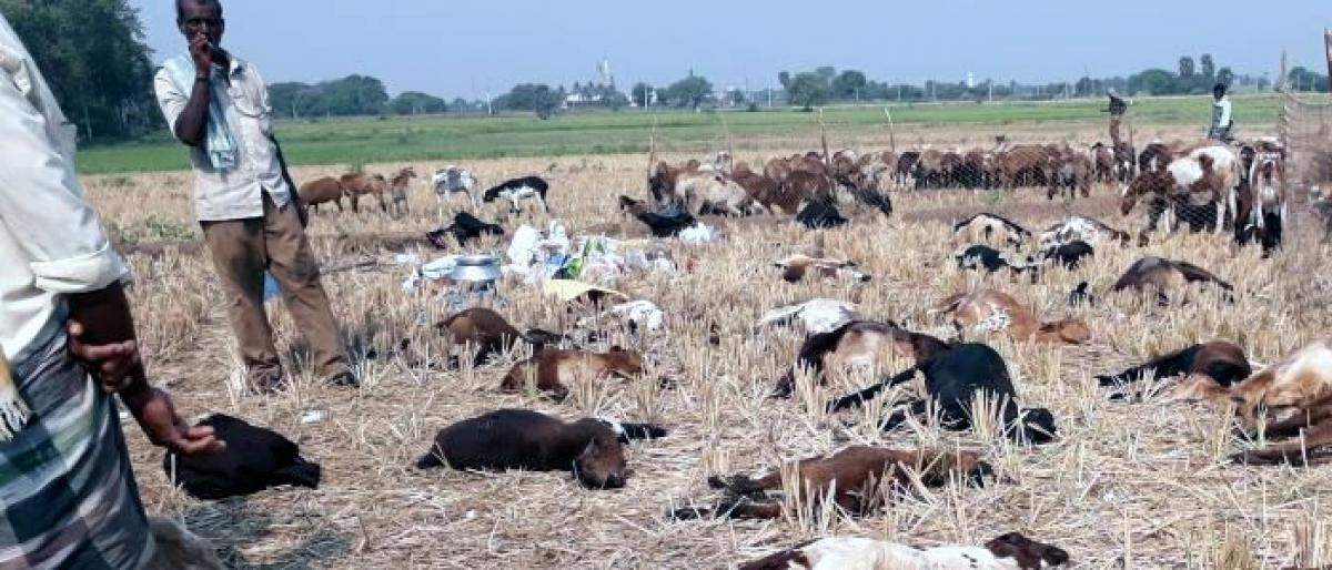 Mysterious death of sheep in Nalgonda