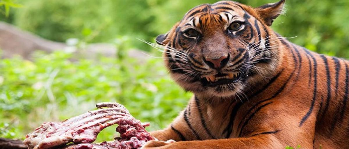Murder of a tigress: Latest of a gory hunting spree
