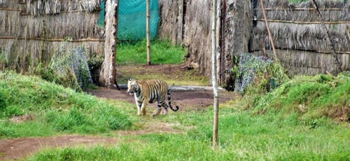 Bandhavgarh tigress released into Satkosia Tiger Reserve