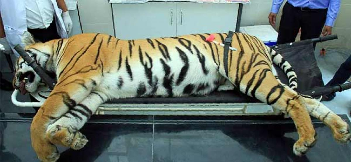 Tigress Avni, shot dead for hunting people, had not eaten for 4-5 days: Necropsy report
