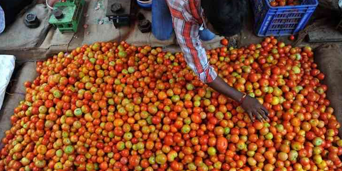 Tomato farmers need help in Rayalaseema too