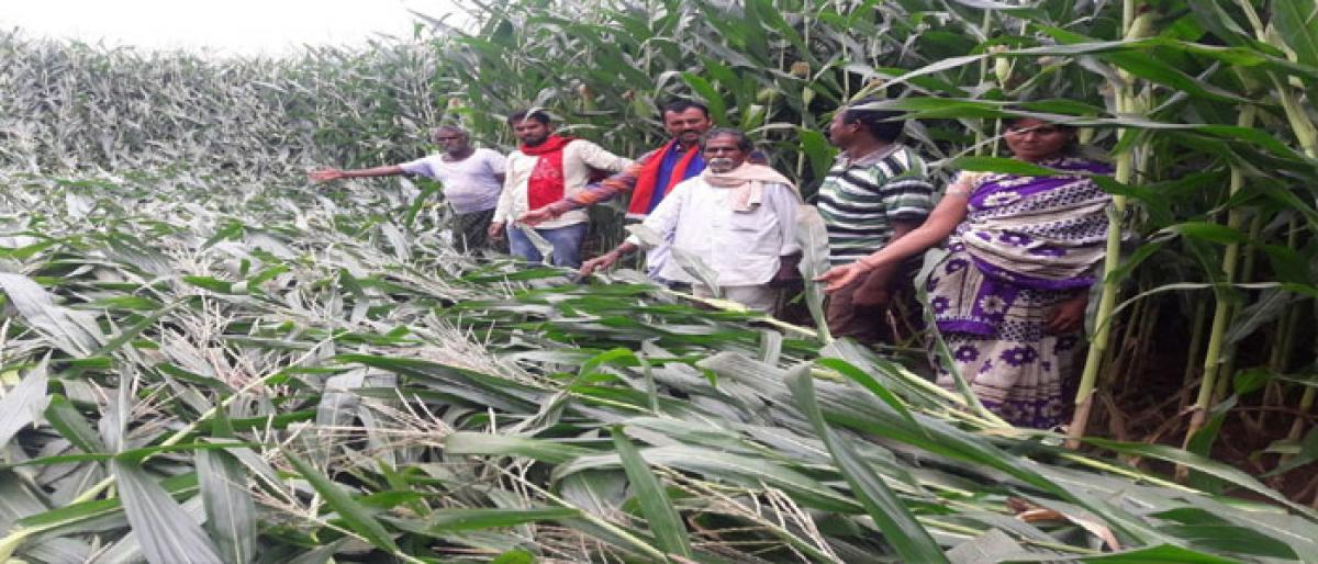 Unseasonal rains play havoc with crops