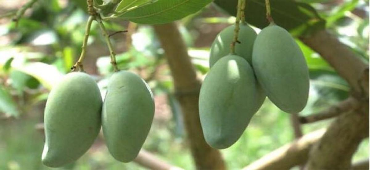 Green mango peels may help clean oil contaminant from soil