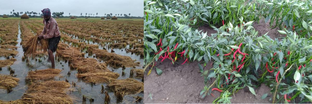 Rain inundated agriculture fields in Tenali division